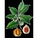 Huile essentielle Muscade Noix Bio*