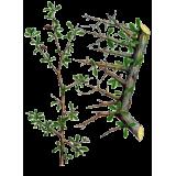 Huile essentielle Myrrhe sauvage (Commiphora myrrha Nees)
