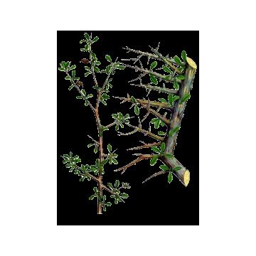 https://www.abcdelanature.com/2741-thickbox/huile-essentielle-myrrhe-sauvage.jpg
