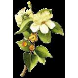 Huile essentielle Myrte Verte bio (Myrtus communis)
