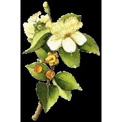 Huile essentielle Myrte Verte Bio*