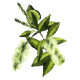 Huile essentielle Niaouli bio (Melaleuca viridiflora Solander)