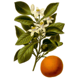Huile essentielle Orange Douce Bio (Citrus sinensis L. Persoon)