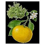 Huile essentielle Pamplemousse Blanc bio (Citrus X paradisi)