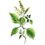Huile essentielle Patchouli bio (Pogostemon cablin)