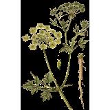 Huile essentielle Persil culture Eco (Petroselinum crispum)