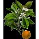 Huile essentielle Petitgrain Bigaradier bio (Citrus aurantium)