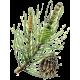 Huile essentielle Pin de Sibérie sauvage (Abies sibirica)