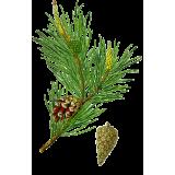 Huile essentielle Pin Sylvestre bio (Pinus sylvestris)