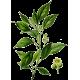 Huile essentielle Ravintsara bio (Cinnamomum camphora)