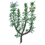 Huile essentielle Romarin à cinéole bio (Rosmarinus officinalis)