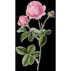 Huile essentielle Rose de Damas Culture