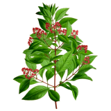 Huile essentielle Santal bois sauvage (Santalum austrocaledonicum)