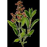 Huile essentielle Sauge Sclarée bio (Salvia sclarea)