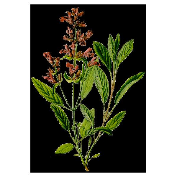Huile essentielle sauge sclar e bio abc de la nature votre laboratoire d 39 aromath rapie - Planter de la sauge ...