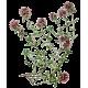 Huile essentielle Serpolet sauvage (Thymus serpyllum)