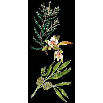 https://www.abcdelanature.com/2777-thickbox/huile-essentielle-tea-tree-bio.jpg