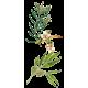 Huile essentielle Tea Tree ou arbre à thé bio (Melaleuca alternifolia)