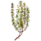 Huile essentielle Thym à Linalol bio (Thymus vulgaris)