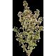 Huile essentielle Thym à Paracymène bio (Thymus vulgaris paracymeniferum)
