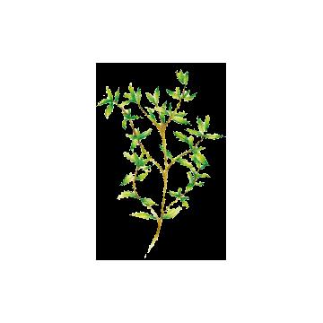 https://www.abcdelanature.com/2781-thickbox/huile-essentielle-thym-satureoide-bio.jpg