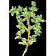 Huile essentielle Thym Saturéoide à bornéol bio (Thymus satureioides)