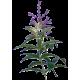 Huile essentielle Verveine Odorante bio (Lippia citriodora Kunte)