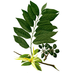 Huile essentielle Ylang-Ylang Complète Bio*