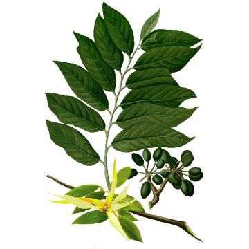 https://www.abcdelanature.com/2790-thickbox/huile-essentielle-ylang-ylang-complete-bio.jpg