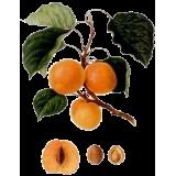 Huile végétale de noyaux d'Abricot Vierge Bio