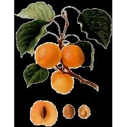 Huile végétale Abricot Vierge Bio*