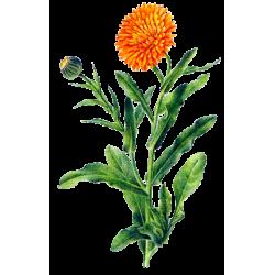 Huile végétale Calendula macérat Bio*