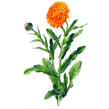 https://www.abcdelanature.com/2798-thickbox/huile-vegetale-calendula-macerat-bio.jpg