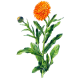Huile végétale de Calendula en macérat Bio*