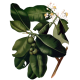 Huile végétale de Calophylle Vierge Bio*