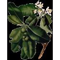 Huile végétale Calophylle Vierge Bio*