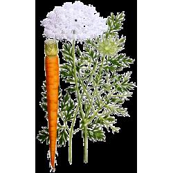 Huile végétale Carotte macérat Bio*