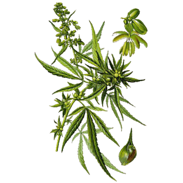 https://www.abcdelanature.com/2801-thickbox/huile-vegetale-chanvre-bio.jpg