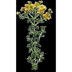 Huile végétale Millepertuis macérat Bio*