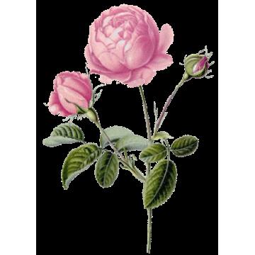Huile végétale Rose Musquée Vierge Bio*
