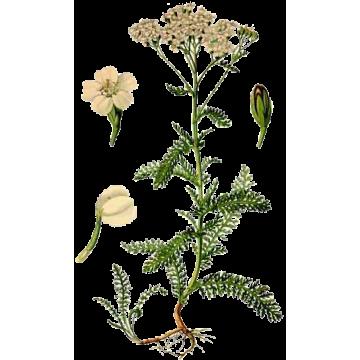 https://www.abcdelanature.com/2810-thickbox/hydrolat-achillee-fleurs-bio.jpg