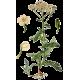 Hydrolat Achillée Fleurs Bio*