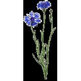 Hydrolat de fleurs de Bleuet bio*