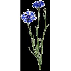 Hydrolat Bleuet Fleurs