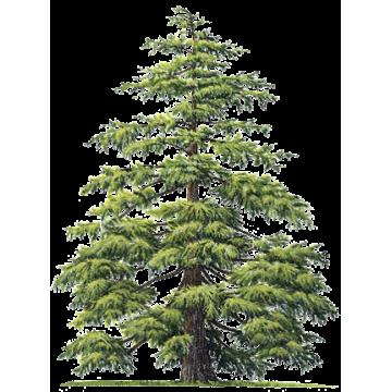 https://www.abcdelanature.com/2813-thickbox/hydrolat-cedre-atlas-bio.jpg