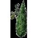Hydrolat de Cyprès Bio*