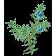 Hydrolat Genevrier Bio*