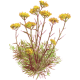 Hydrolat Helichryse Italienne Bio (Immortelle)