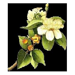 Hydrolat Myrte Verte Bio*