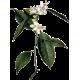 Hydrolat Oranger Fleurs Bio*